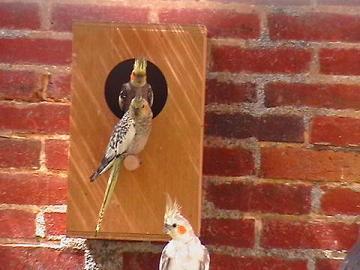 mâle gris opaline, femelle opaline au nid