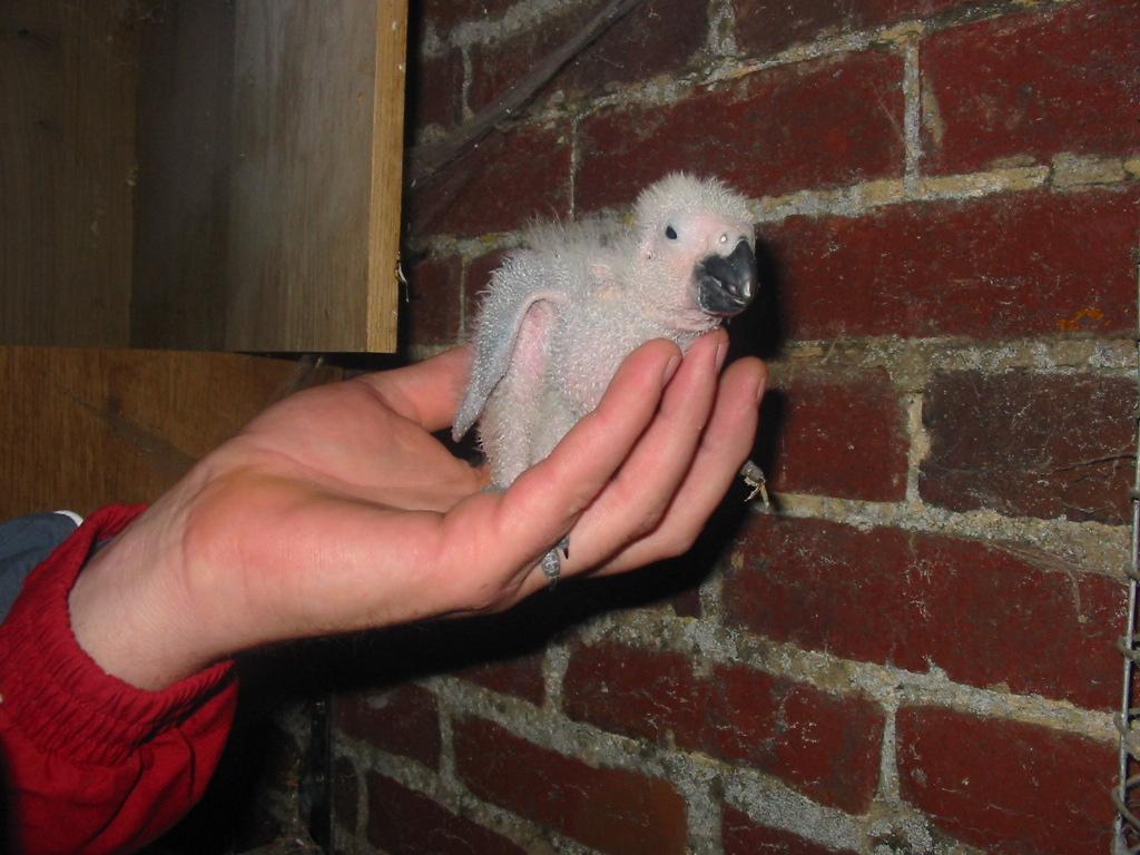 bébés gris du gabon
