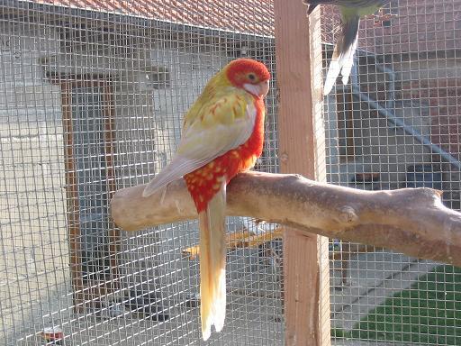 femelle opaline cinnamon pastel